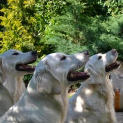 Fred, Al i Labri Golden Rertrivery