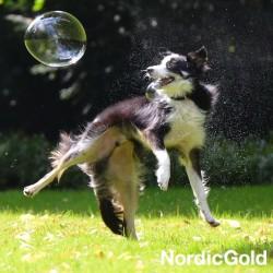 rasy psów dla aktywnych: border collie