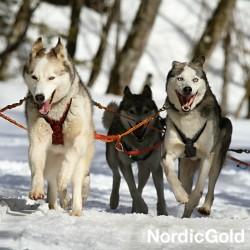 rasy psów dla aktywnych: siberian husky