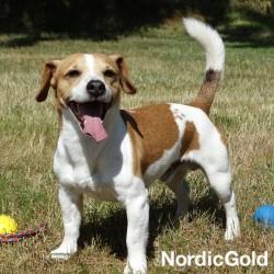rasy psów dla aktywnych: jack russell terrier