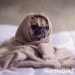 kleszcze u psa: smutny mops