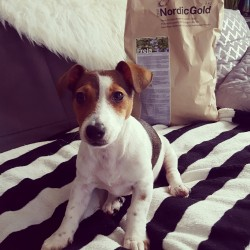 Chloe (8 miesięcy), Jack Russell Terrier