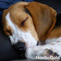 3 najlepsze rasy psów dla rodziny: beagle