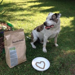 Abdi, Amerykański Staffordshire Terrier