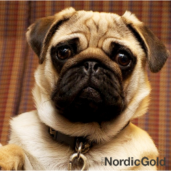 mops i klasyczna obroża dla psa