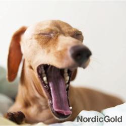ziewający pies